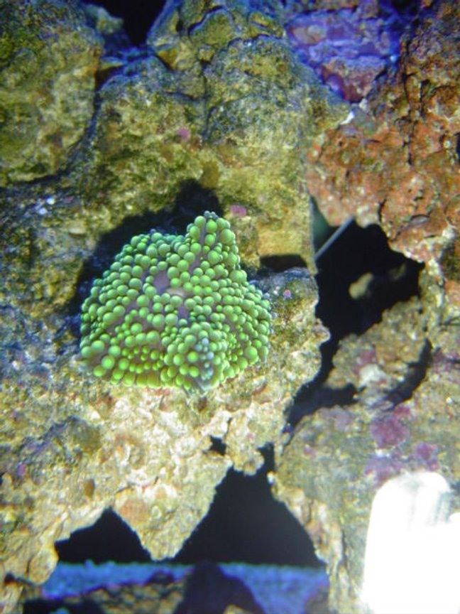 corals inverts - ricordea florida - ricordea mushroom, green stocking in 55 gallons tank - green florida ric