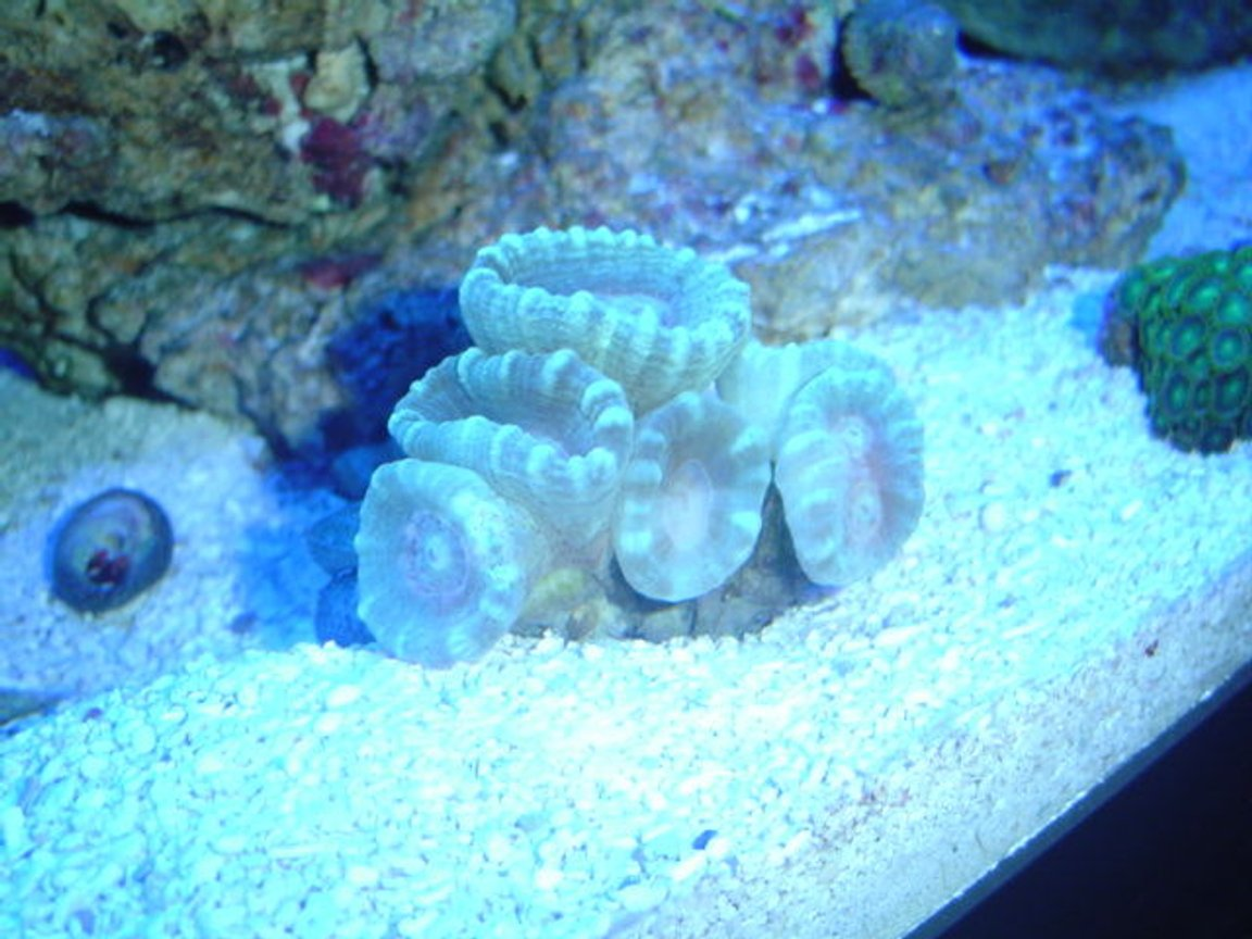corals inverts - caulastrea furcata - candy cane coral stocking in 55 gallons tank - neon green candy canes