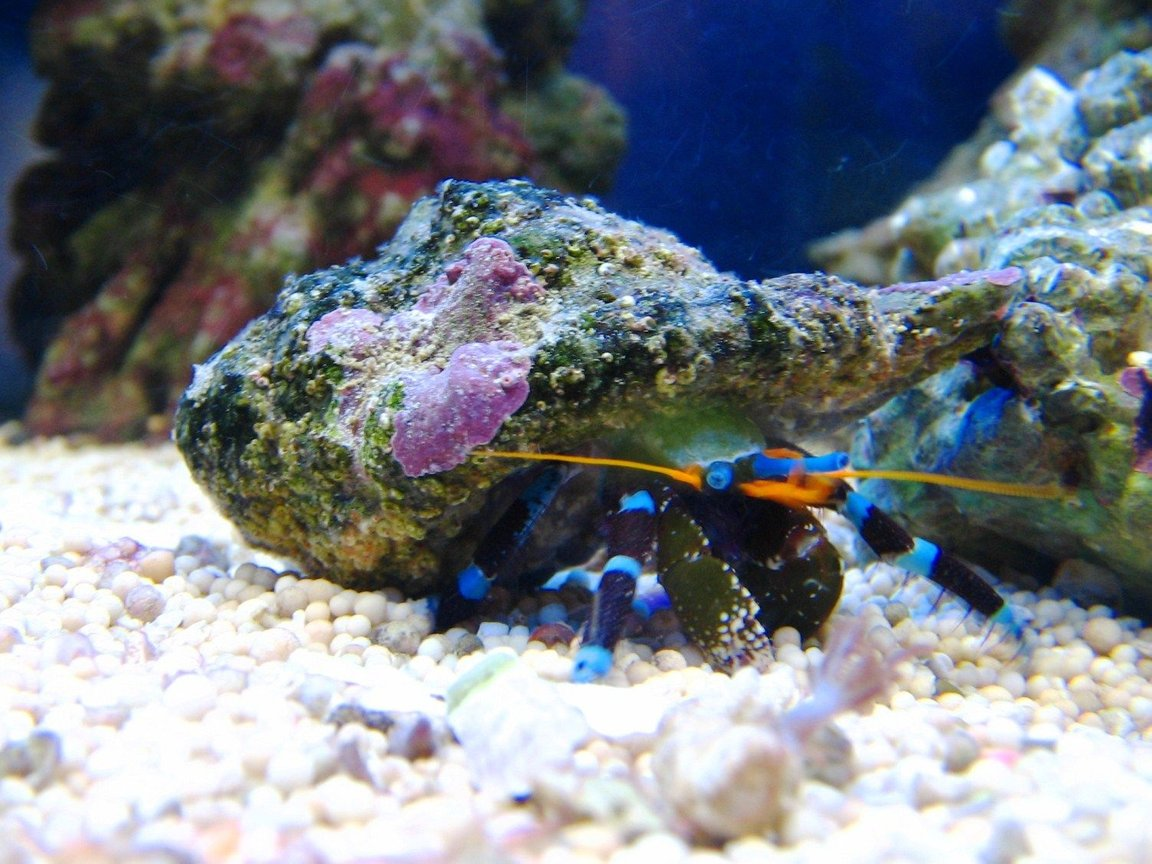 corals inverts - calcinus elegans - electric blue hermit crab stocking in 10 gallons tank - Electric blue legged hermit crab