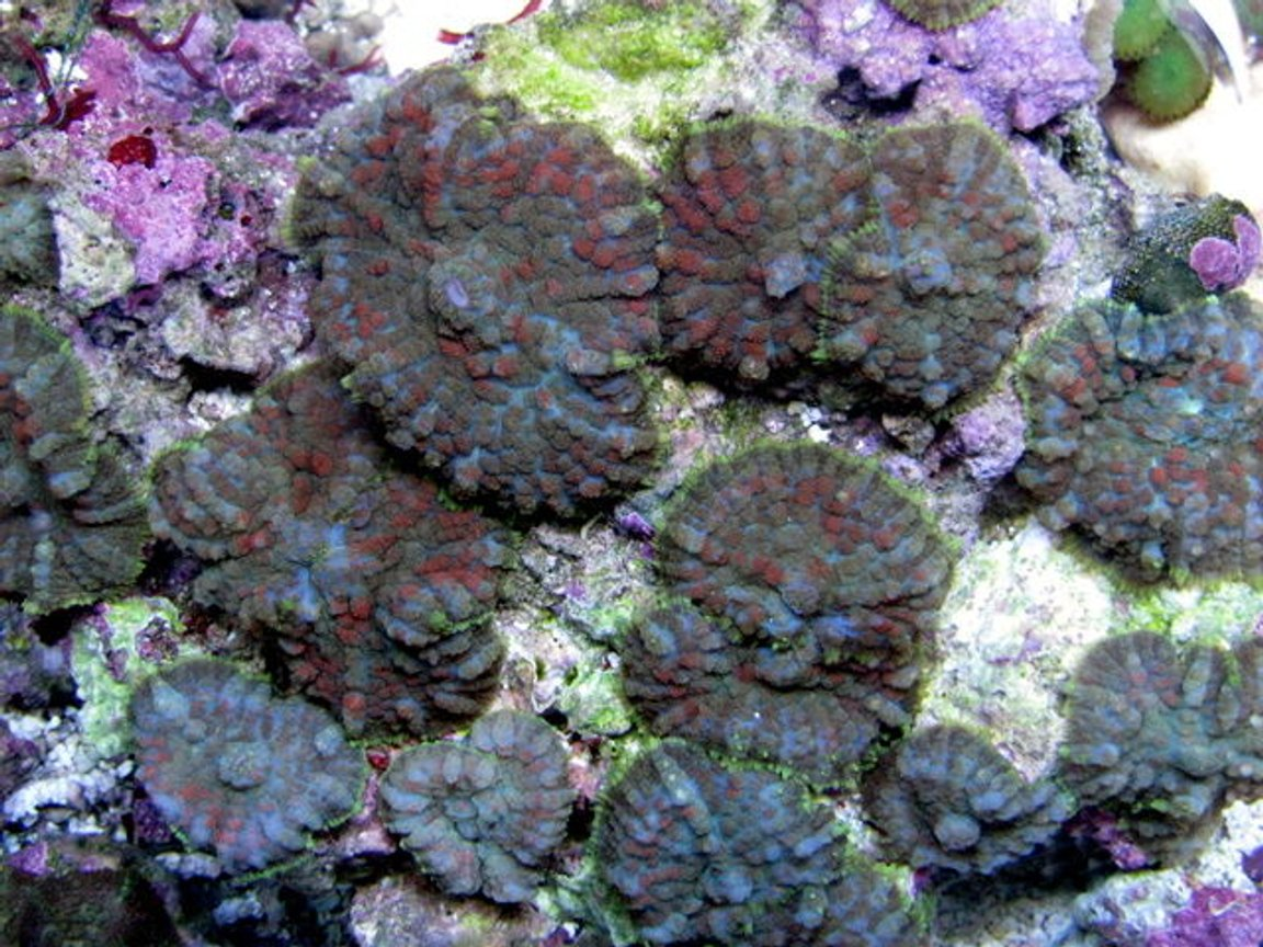 corals inverts - rhodactis sp. - green mushroom stocking in 28 gallons tank - shrooms