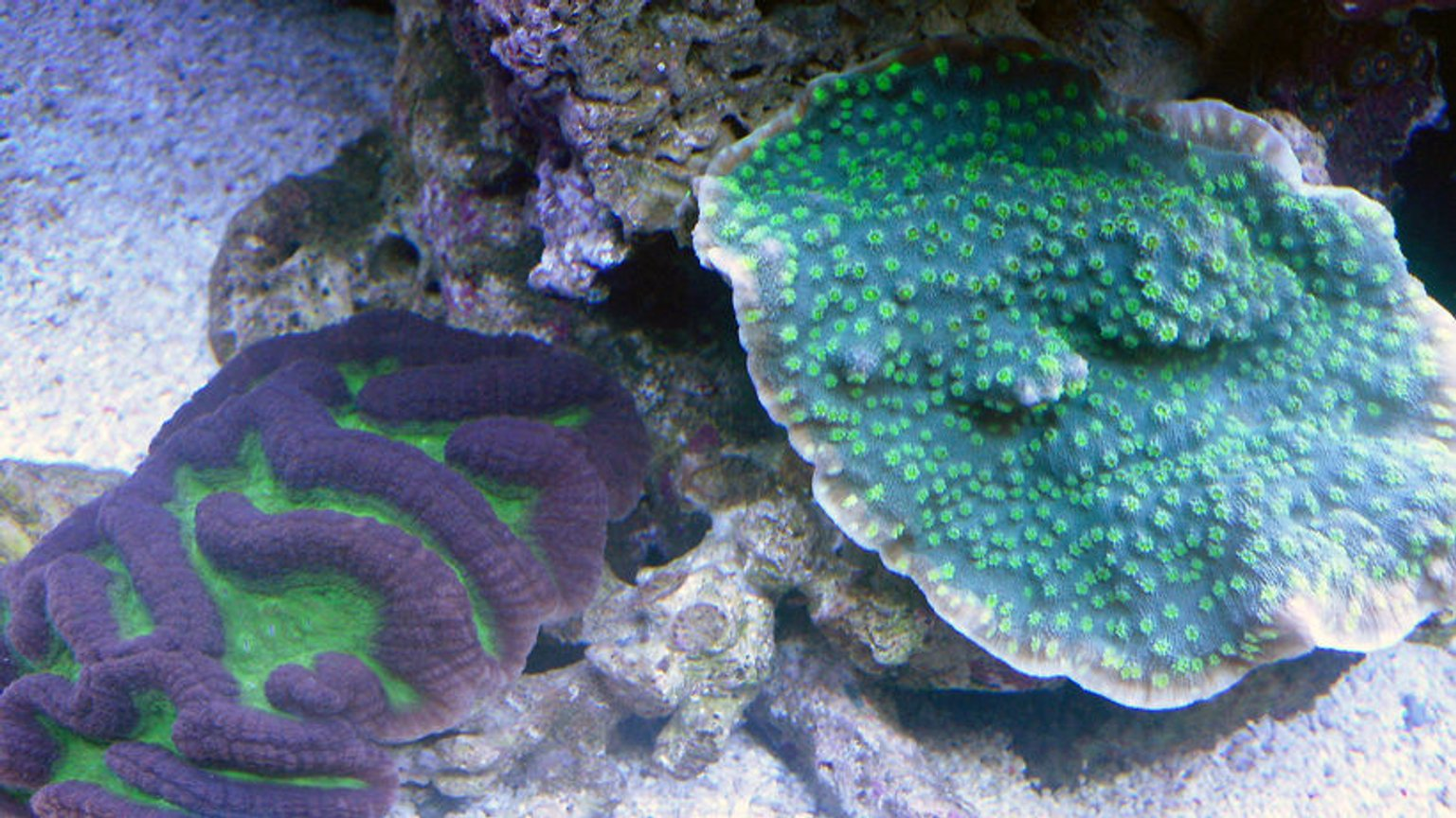 corals inverts - platygyra sp. - brain worm platygyra coral stocking in 72 gallons tank - My 72g Sps tank
