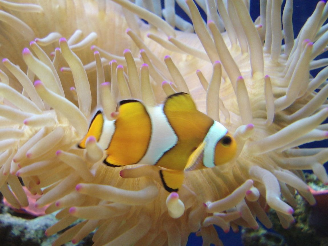 corals inverts - condylactis sp. - haitian reef anemone stocking in 44 gallons tank - Bubbletip anemone and false percula clown