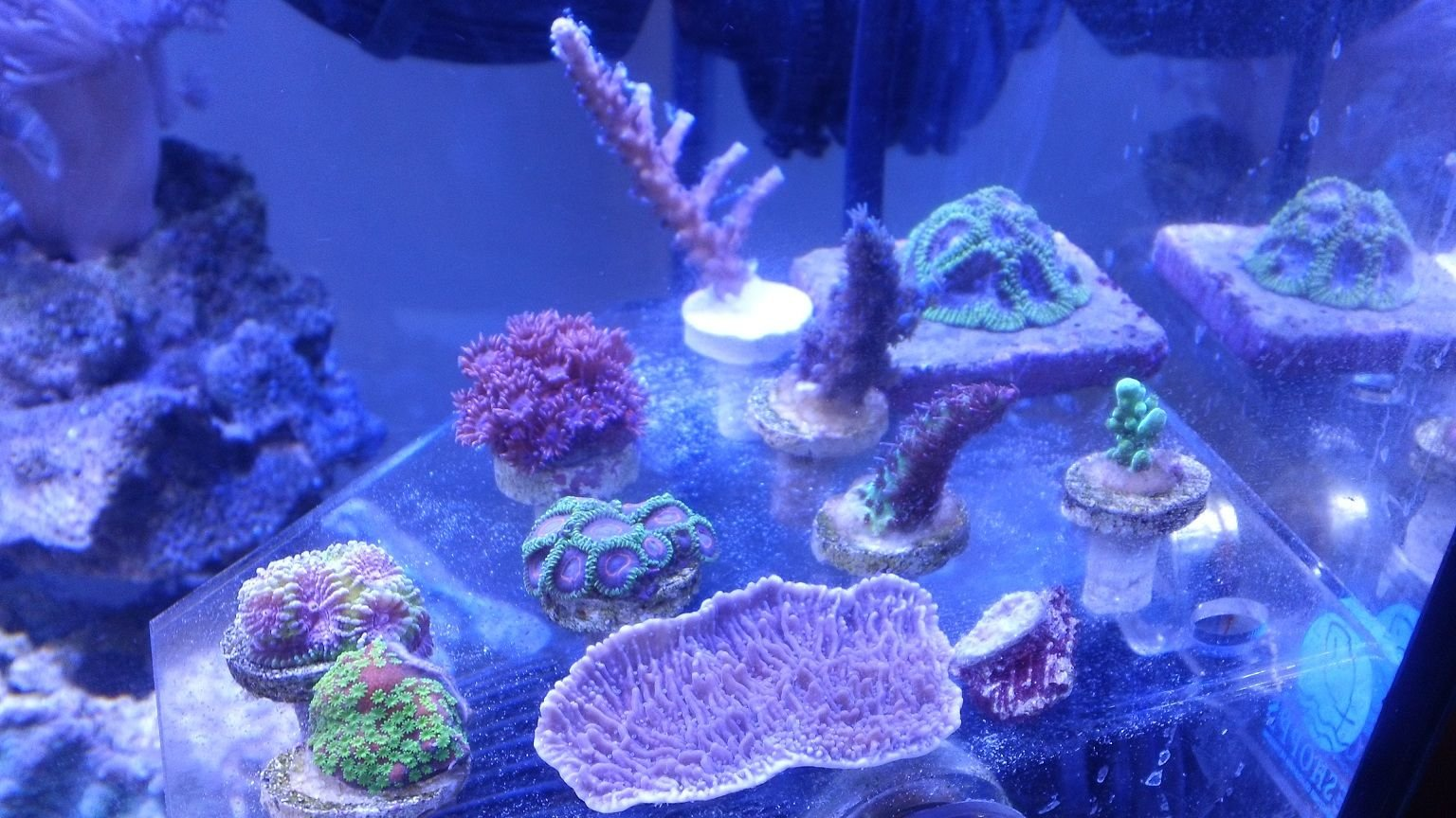 corals inverts - rhodactis indosinensis - hairy mushroom stocking in 75 gallons tank - idaho grape monti cap sunset montie lil princess favia red planet acro unknown blue acro tiny natalies southern star 1st audition chalice red gonipora blue mouths spell binder favia green tort blue bottle brush pink palys green skirt