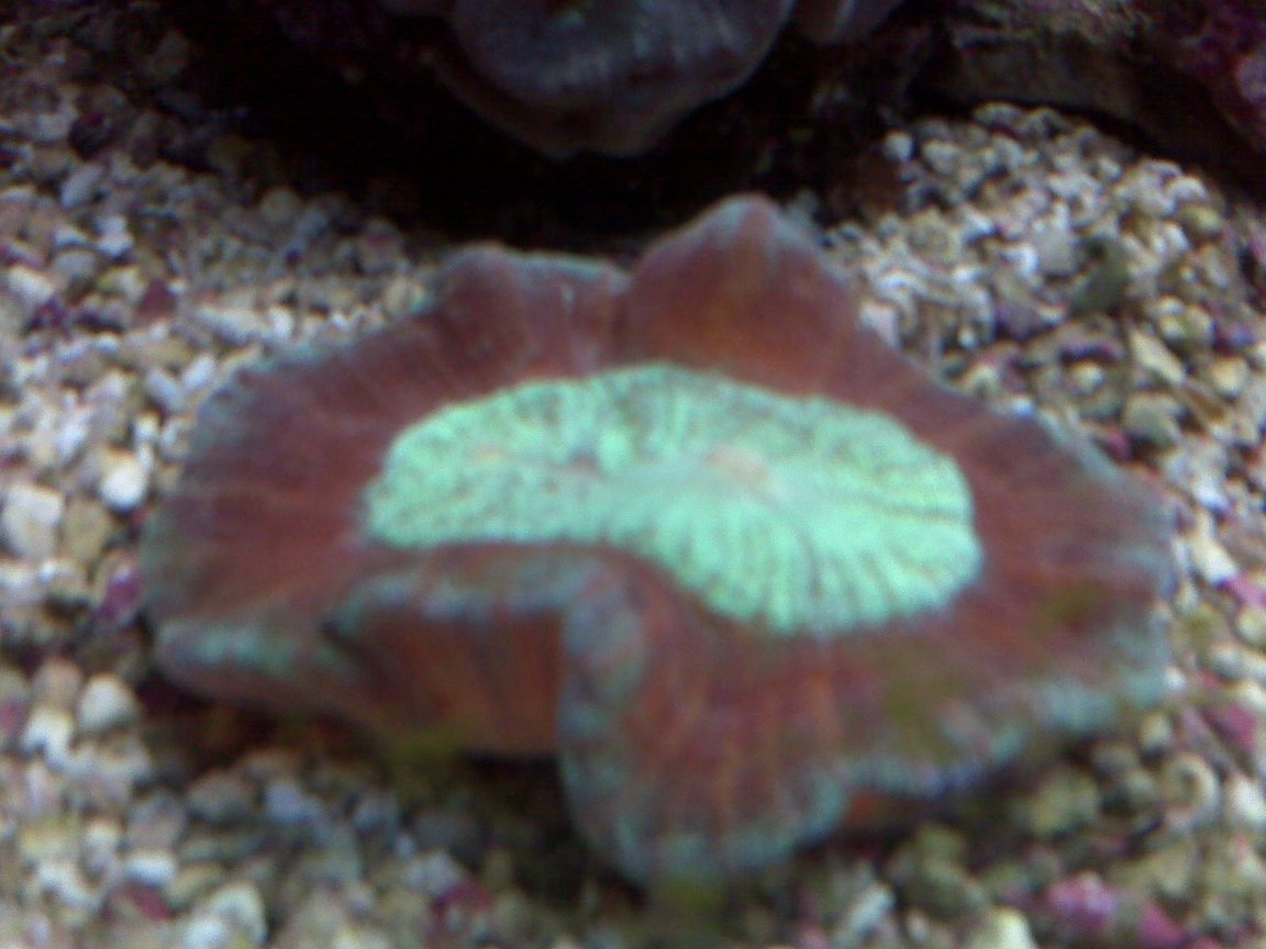 corals inverts - trachyphyllia geoffroyi - brain coral, trachyphyllia stocking in 90 gallons tank - exotic coral