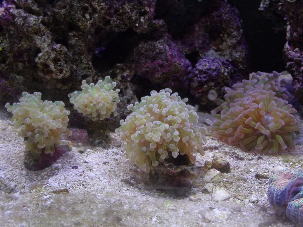 corals inverts - euphyllia paradivisa - frogspawn coral - branched stocking in 150 gallons tank - Frogspawn coral colony