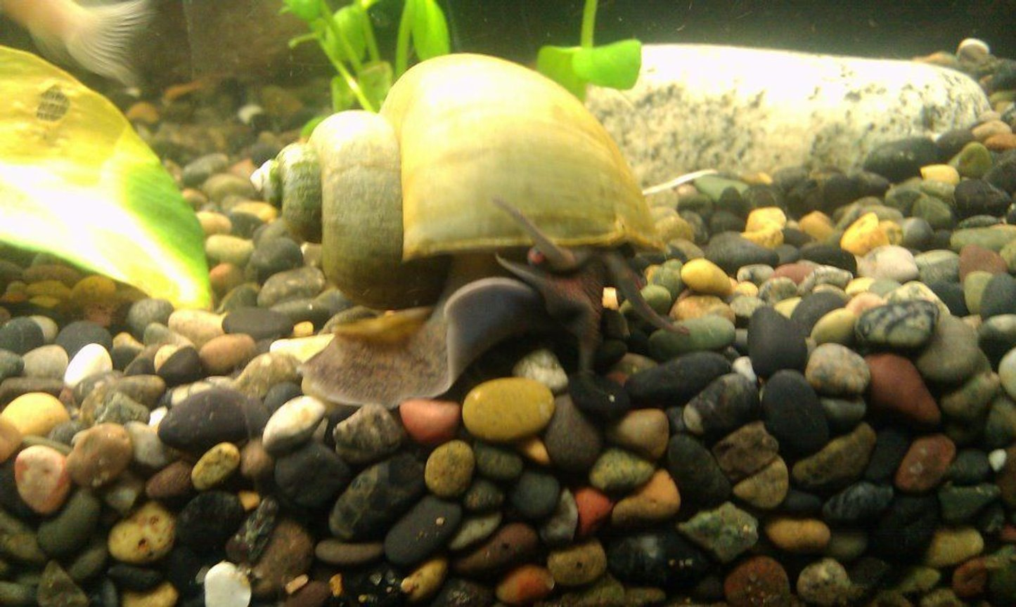 corals inverts - pomacea bridgesii - mystery snail stocking in 125 gallons tank - Mystery Snail