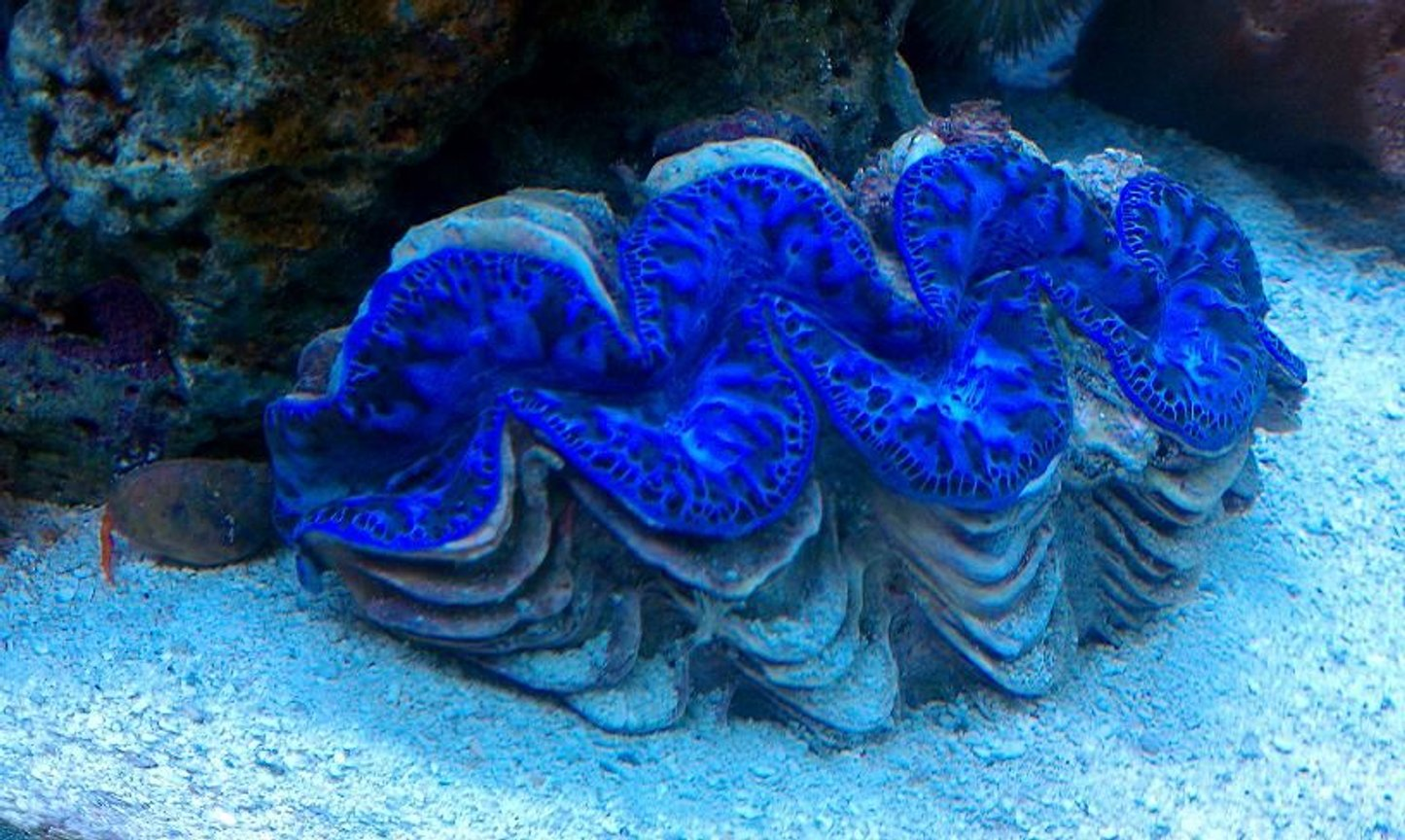 "corals inverts - tridacna maxima - maxima clam stocking in 65 gallons tank - 6"" BLUE MAXIMA CLAM"