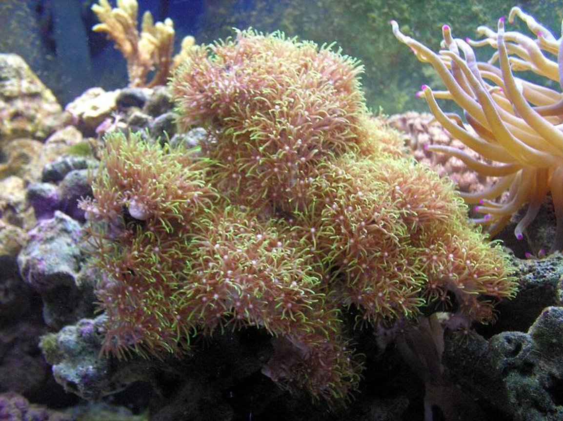 corals inverts - briareum sp. - evergreen starburst polyp stocking in 55 gallons tank - Green Polly