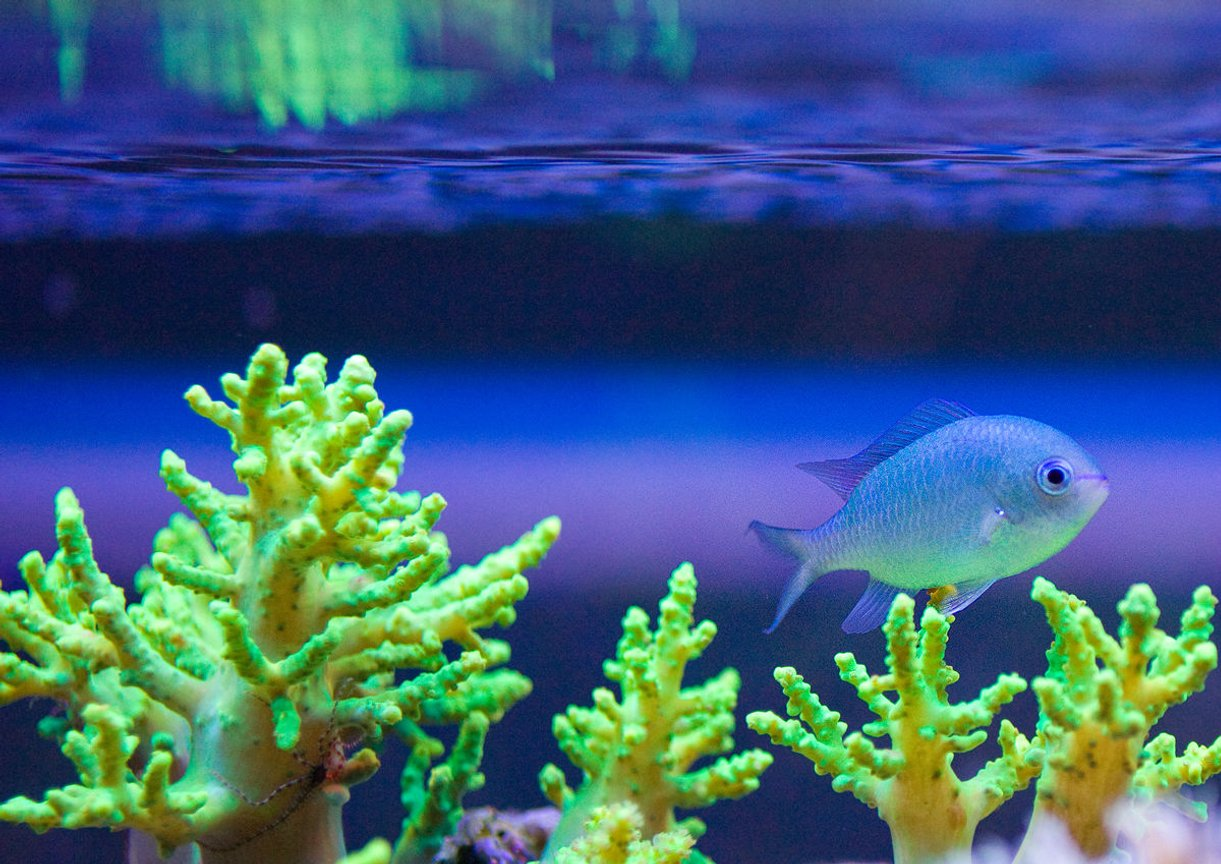 corals inverts stocking in 52 gallons tank - This my Green Chromis Damsel