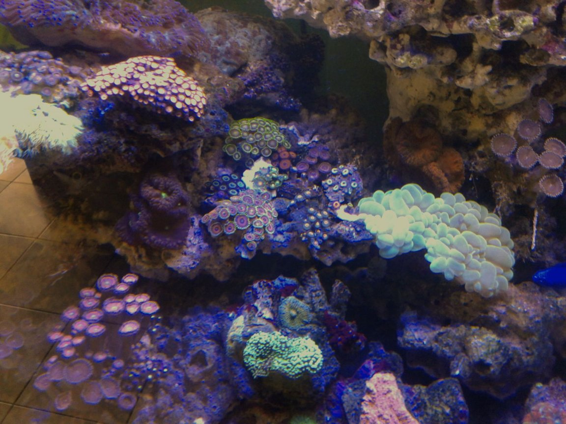 corals inverts stocking in 53 gallons tank - My zoa