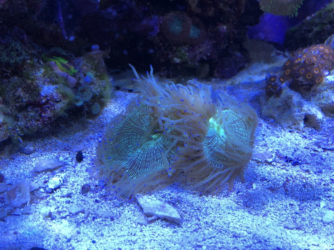 corals inverts stocking in 65 gallons tank - Elegance Coral