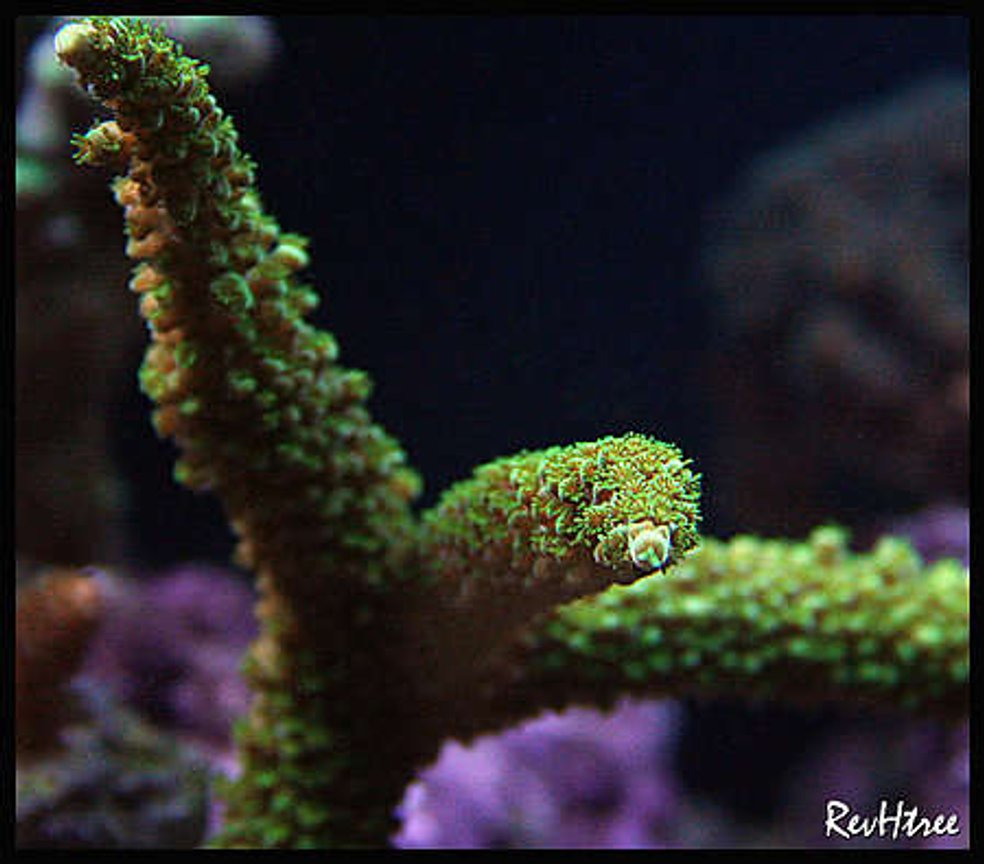 corals inverts - acropora abrolhosensis - fuzzy green tip staghorn stocking in 125 gallons tank - Acropora