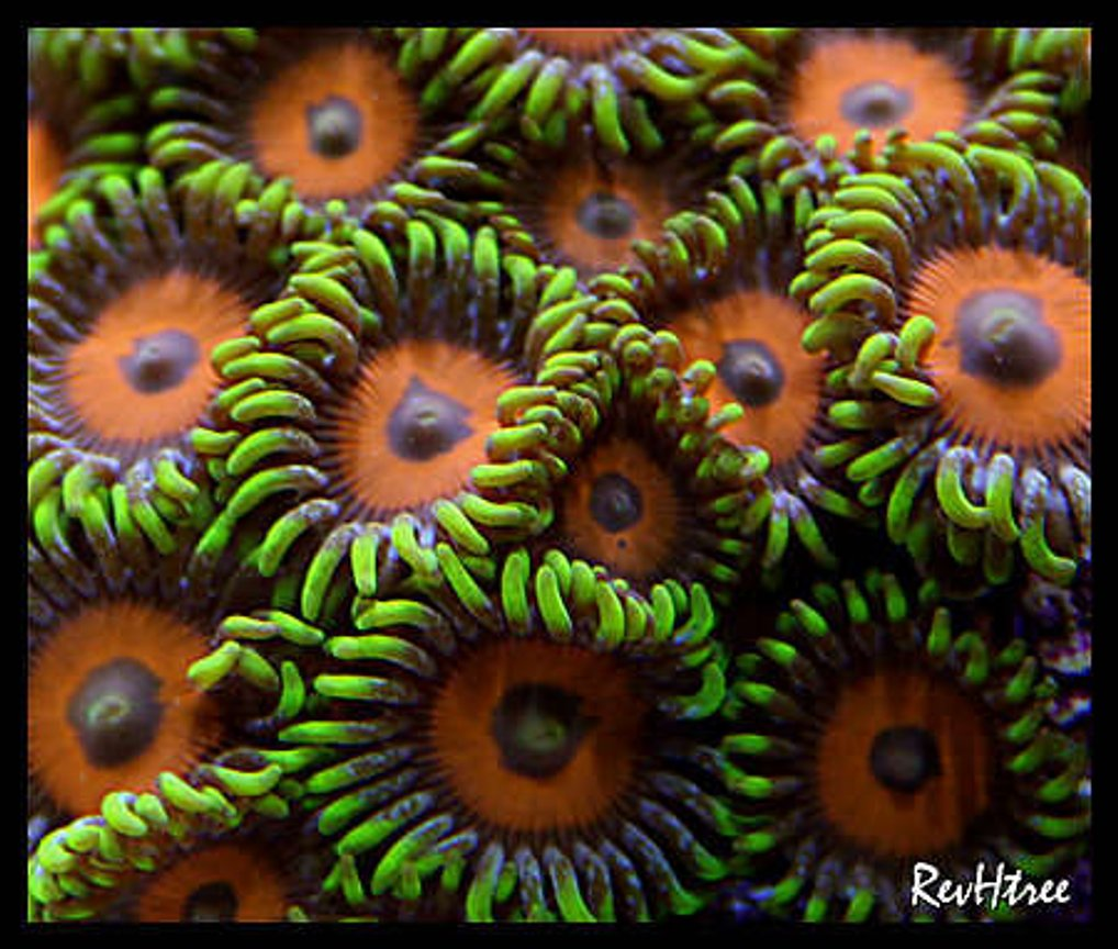 corals inverts - zoanthus sp. - eagle eye zoanthids stocking in 125 gallons tank - Zoanthids (Eagle Eyes)