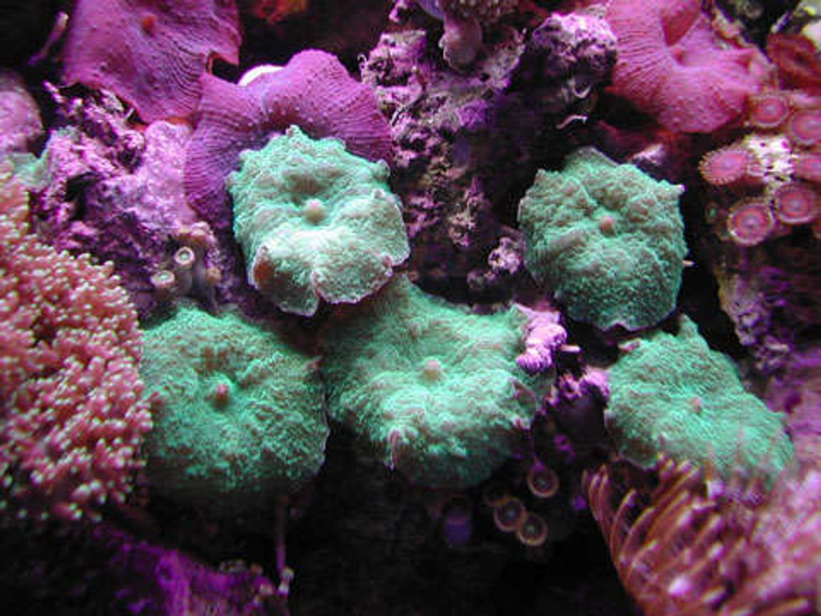 corals inverts - rhodactis inchoata - bullseye mushroom stocking in 20 gallons tank - Brilliant Green Mushrooms