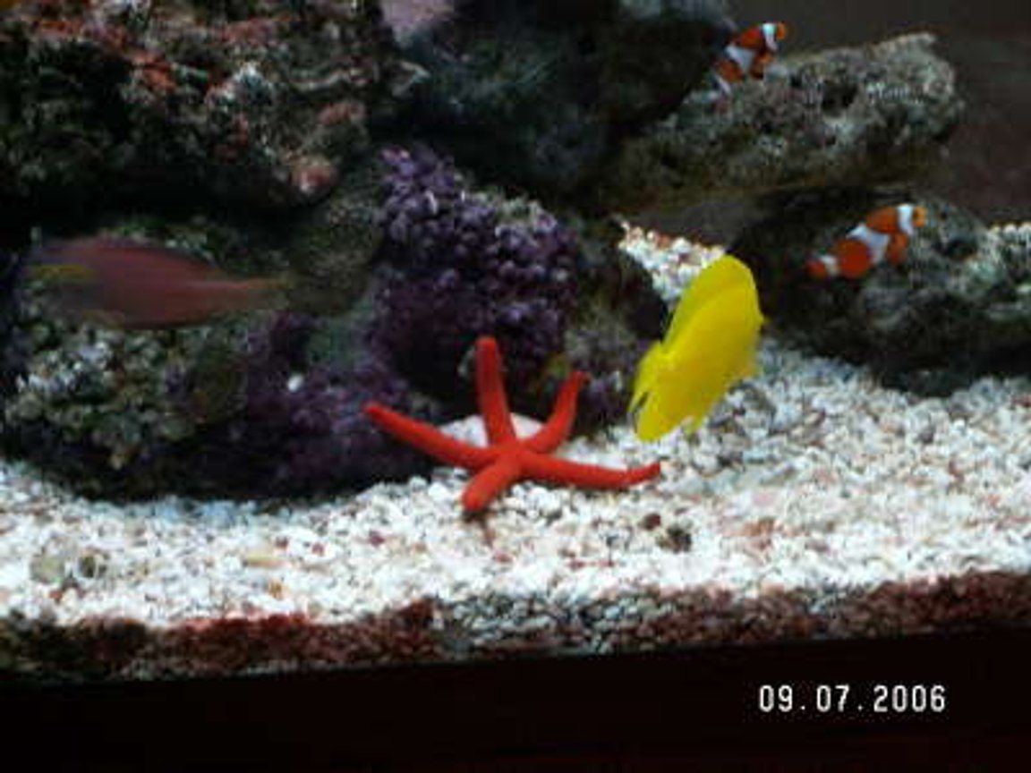 corals inverts - echinaster sp. - orange sea star stocking in 37 gallons tank - star fish, yellow tang, and pair clownfish