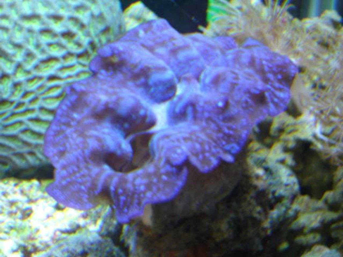 "corals inverts - favites sp. - brain coral, favites stocking in 90 gallons tank - 5""MAXIMA, BRAIN IN THE BACK, XENIA ON SIDE"
