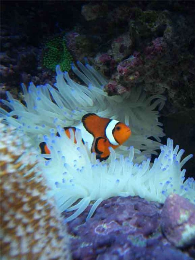 corals inverts - condylactis gigantea - condy anemone stocking in 160 gallons tank - Clownfish in Sebea Anenomea