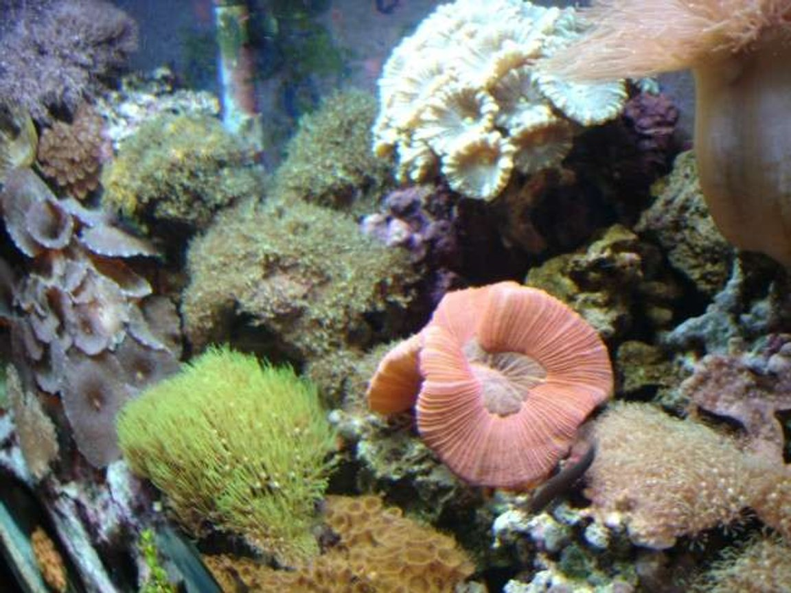 corals inverts - trachyphyllia geoffroyi - brain coral, trachyphyllia stocking in 112 gallons tank - side shot of tank