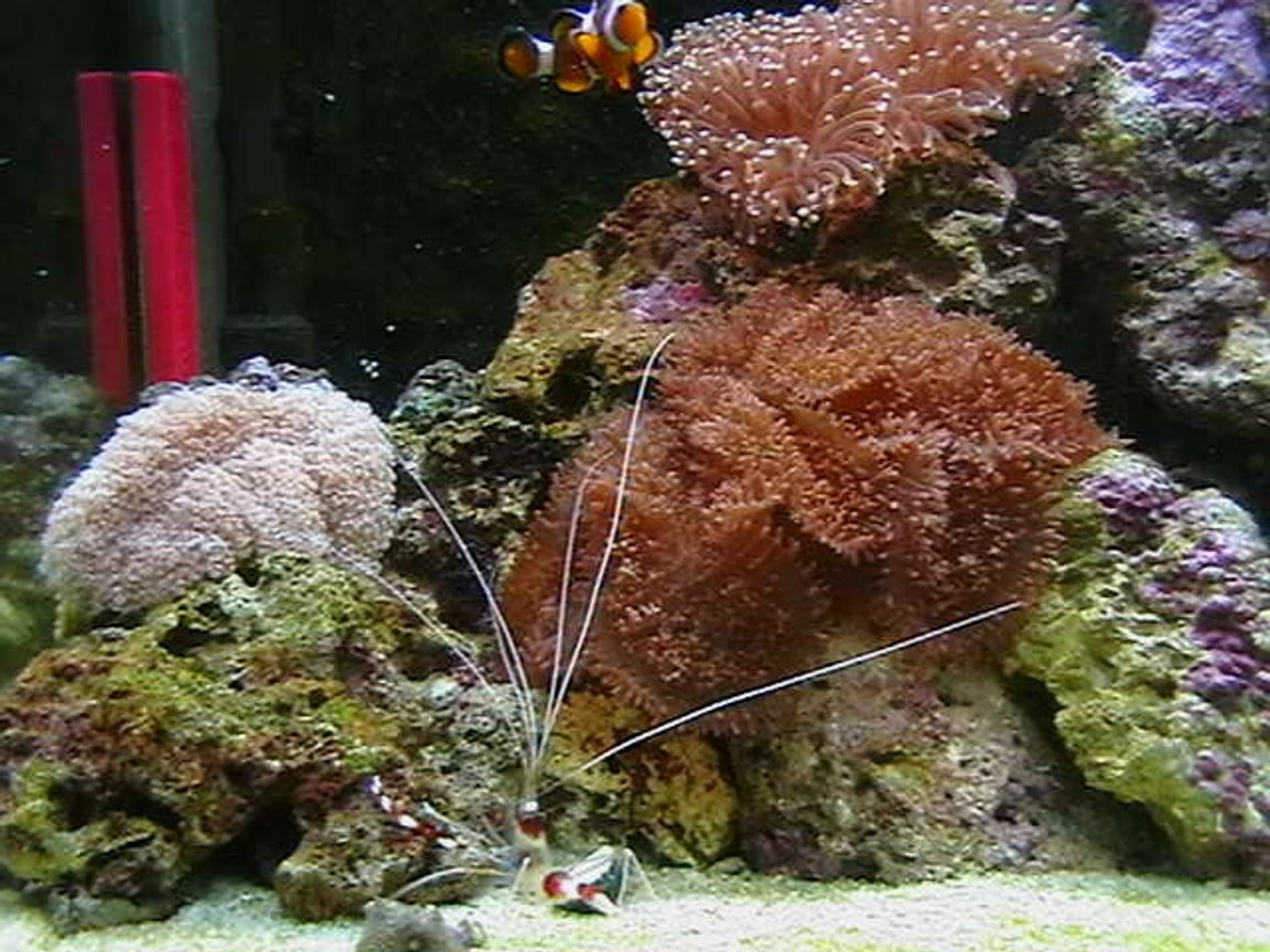 corals inverts - euphyllia paradivisa - frogspawn coral stocking in 25 gallons tank - My Tank