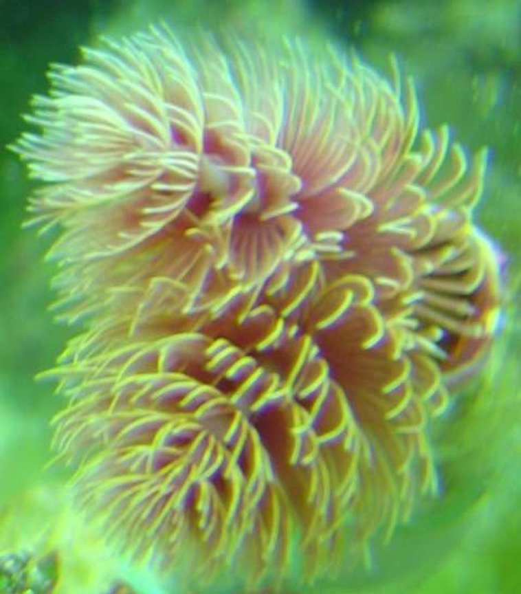 corals inverts - protula bispiralis - hard tube coco worm stocking in 29 gallons tank - a cocoa worm in my tank