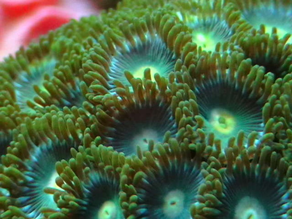 corals inverts - zoanthus sp. - atomic green zoanthids stocking in 25 gallons tank - More zoos.
