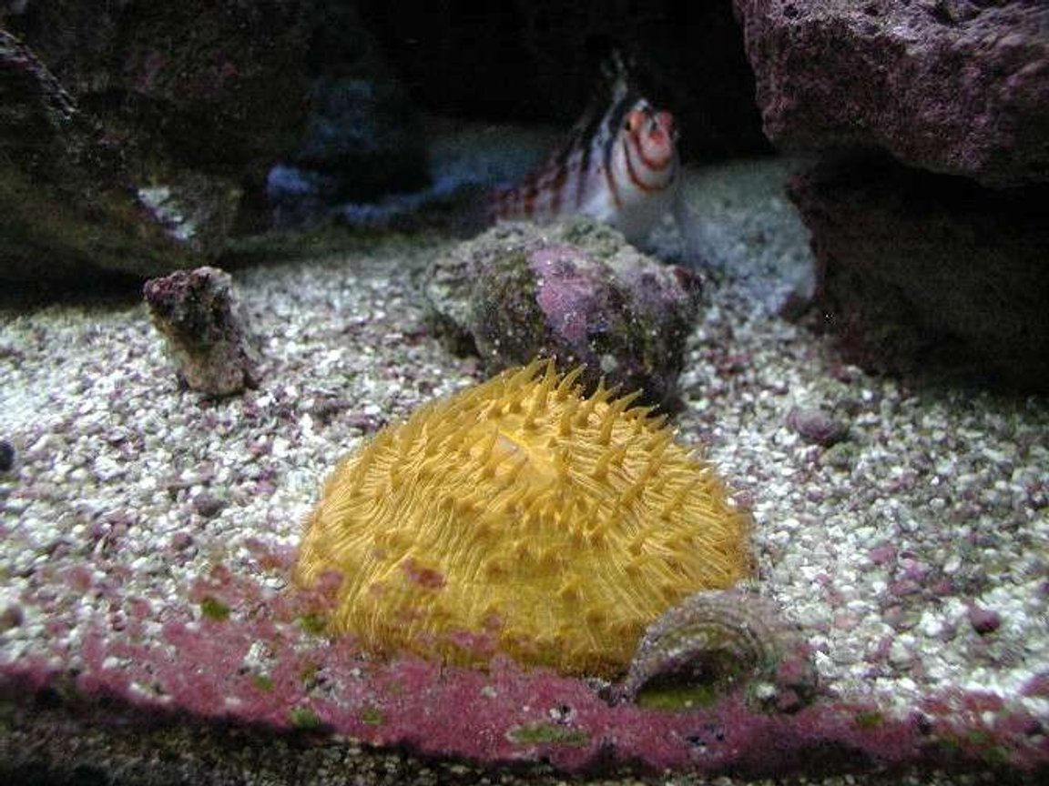 corals inverts - fungia sp. - plate coral, orange - short tentacle stocking in 180 gallons tank - Fungia Coral.