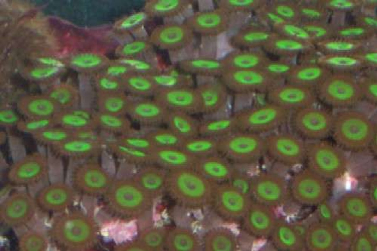 corals inverts - zoanthus sp. - hulk zoanthids stocking in 55 gallons tank - My mean green zoos.