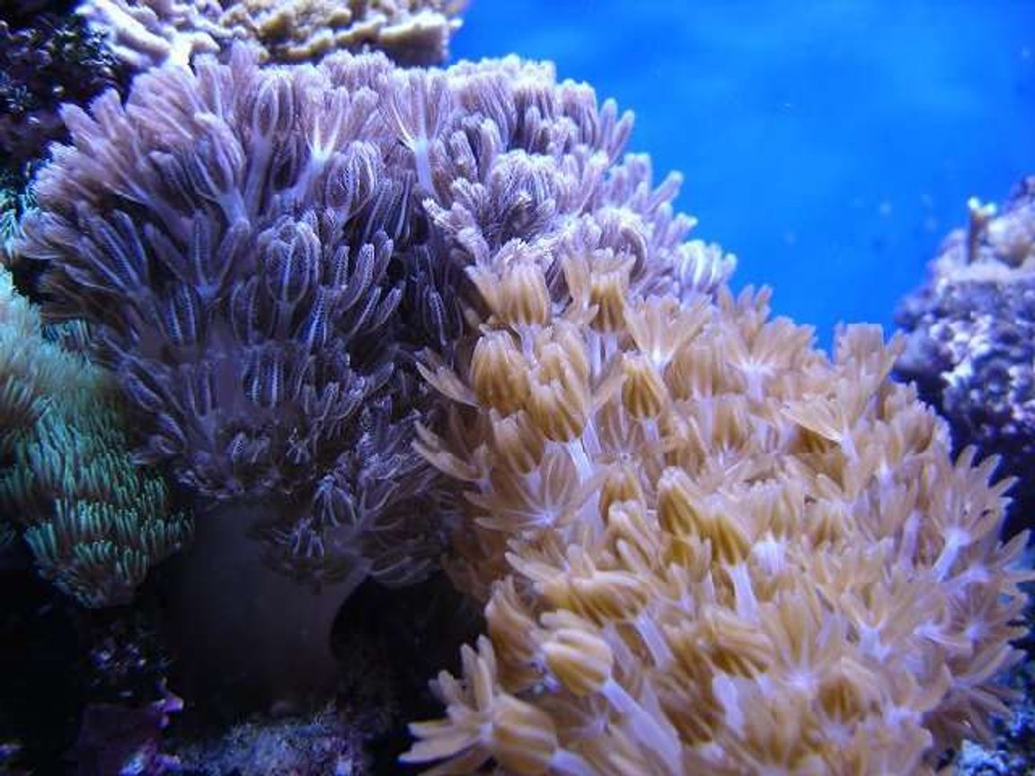 corals inverts - anthelia sp. - waving hand - blue stocking in 140 gallons tank - Xenia patch