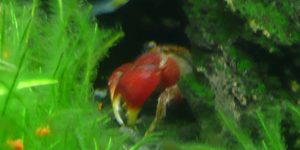 Freshwater Red Claw Crab 110507