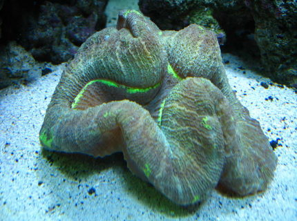corals inverts - trachyphyllia radiata - brain coral, wellsophyllia stocking in 160 gallons tank - Open Brain