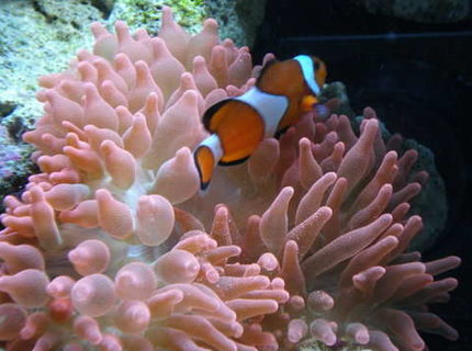 corals inverts - entacmaea quadricolor - rose anemone stocking in 34 gallons tank - Bubble Tip and clown