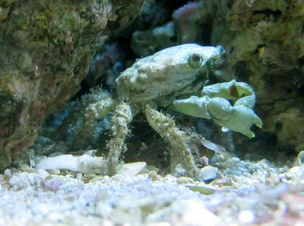 corals inverts - mithrax sculptus - emerald crab stocking in 90 gallons tank - Emerald Crab