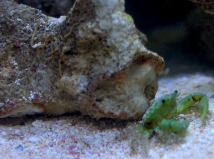 corals inverts - mithrax sculptus - emerald crab stocking in 26 gallons tank - Emerald crab