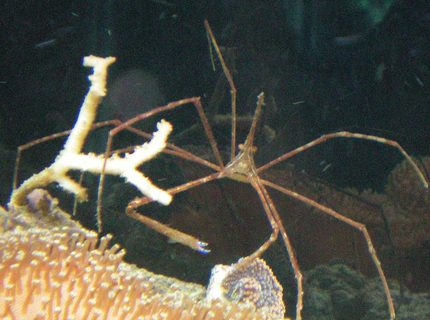 corals inverts - stenorhynchus seticornis - arrow crab stocking in 60 gallons tank - Aarowhead Crab on Toad Stool Leather