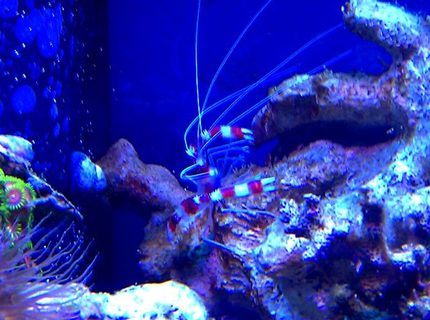 corals inverts - stenopus hispidus - banded coral shrimp stocking in 72 gallons tank - Steve the Red Banded Shrimp