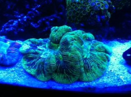 corals inverts - trachyphyllia radiata - wellso folded brain coral stocking in 72 gallons tank - THE BRAIN OF ALL BRAINS