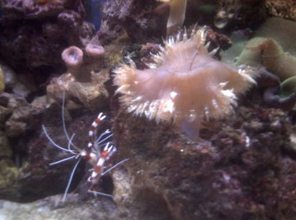 corals inverts - stenopus hispidus - banded coral shrimp stocking in 70 gallons tank - coral banded shrimp hanging out by my large flower anemone