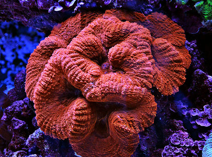 corals inverts - lobophyllia hemprichii - brain coral stocking in 240 gallons tank - Red Lobo