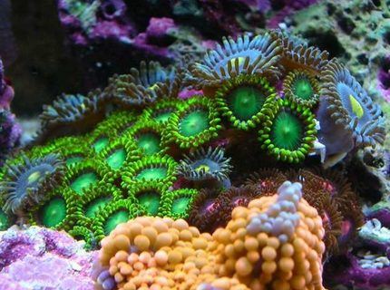 Rated #2: Corals Inverts - Zoanthus Sp. - Colony Polyp, Orange Spot Stocking In 100 Gallons Tank - zoa garden
