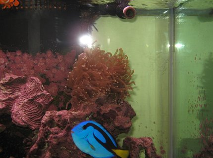 corals inverts - euphyllia glabrescens - torch coral stocking in 125 gallons tank - Blue Tang and Torch Coral