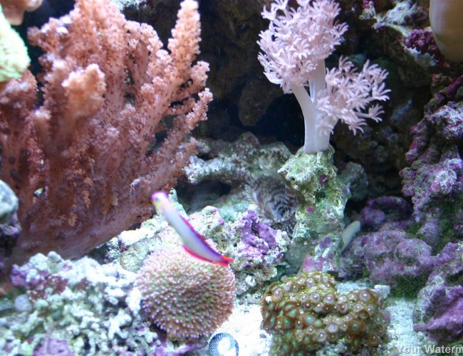 corals inverts - scleronephthya sp. - flower tree coral stocking in 34 gallons tank - more pics