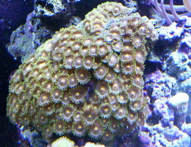corals inverts - zoanthus sp. - colony polyp stocking in 24 gallons tank - orange zoas