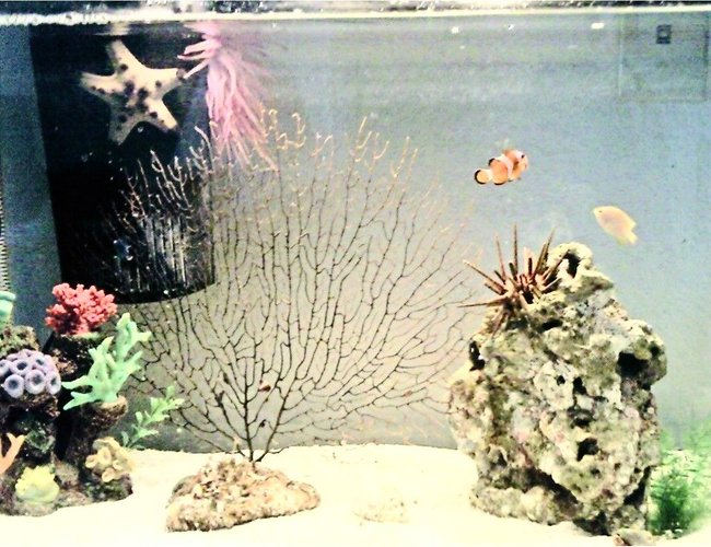 corals inverts - eucidaris tribuloides - pencil urchin stocking in 20 gallons tank - In this picture is 3 Damsels (1 yellow, 2 black with white spots), 1 Clownfish, 1 Chocolate chip starfish, sea anemone, live rock, fake coral :P, 1 Sea Urchin, and some lovley daisys.