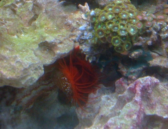 corals inverts - lima scabra - flame scallop stocking in 55 gallons tank - flame scallop