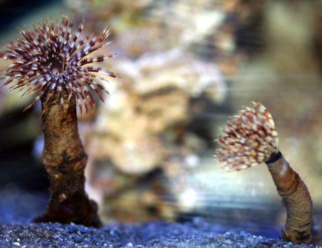 corals inverts - sabellastarte sp. - feather duster stocking in 90 gallons tank - FeatherDuster