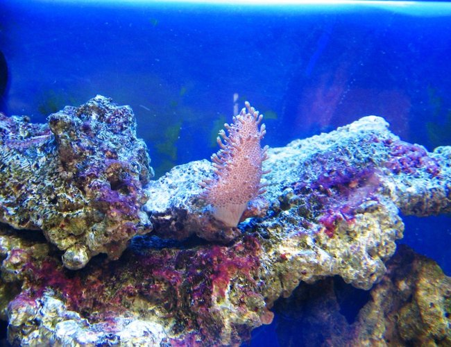 corals inverts - sarcophyton glaucum - common toadstool coral stocking in 10 gallons tank - small leather coral