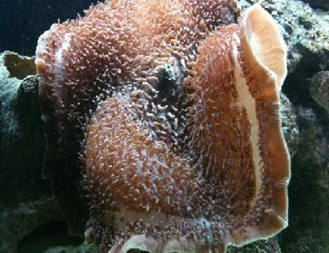 corals inverts - stichodactyla gigantea - true carpet anemone stocking in 125 gallons tank - Giant Carpet