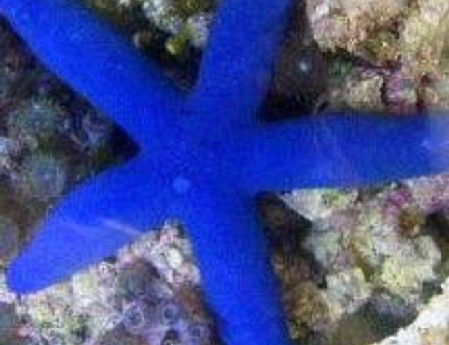 corals inverts - linckia laevigata - linckia sea star, blue stocking in 46 gallons tank - Blue Linkias Starfish