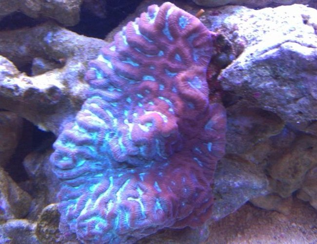 corals inverts - platygyra sp. - brain worm platygyra coral stocking in 72 gallons tank - Red/Green Brain Coral