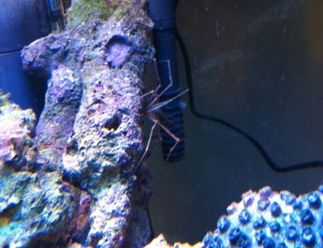 corals inverts - stenorhynchus seticornis - arrow crab stocking in 56 gallons tank - Arrow Crab